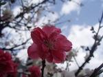 源平紅白桃2