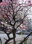源平紅白桃4